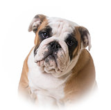 bulldog puppy portrait