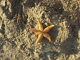 One starfish in the sand