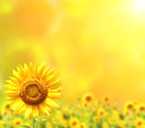 Bright sunflowers on yellow background
