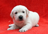 a nice labrador puppy on red background