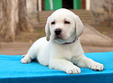 the nice little labrador puppy on blue background