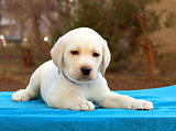 nice little labrador puppy on blue background