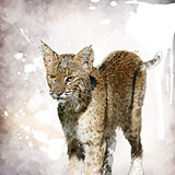 Bobcat Watercolor
