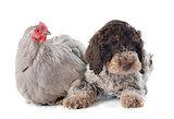 lagotto romagnolo and chicken