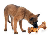 Belgian Shepherd Tervuren and bone