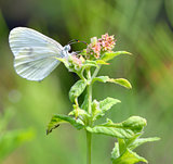 Pieris brassicae, Cabbage butterfly