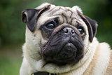 Male Pug