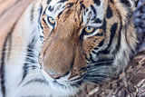tiger head close-up
