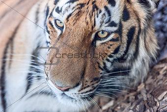 tiger head close-up