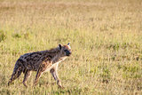 Hyena wandering the plains of Kenya