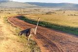 Ostrich  walking on savanna in Africa. Safari. Kenya