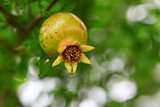 Fruit of a garnet tree