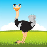Ostrich on glade