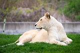 Majestic white lioness