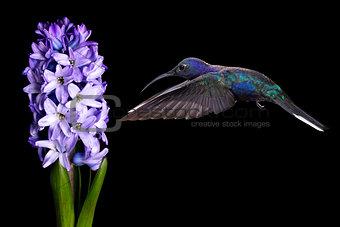 Green Violetear Hummingbird Flying over Black Background