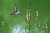 Hummingbird in Flight in Search of Nectar Flowers