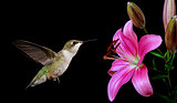 Hummingbird with Tropical Flowers on Black Background