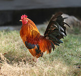 Beautiful multi-colored rooster