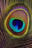 Peacock feather (detai of eyespotl)