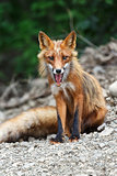 Beautiful red fox sitting on the rocks