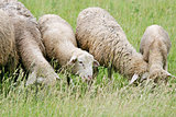 Close up of sheep flock grazing