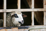Close up of sheep in farm stall