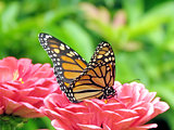 Toronto High Park monarch on flowers 2015
