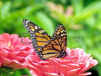 Toronto High Park monarch on flowers 2015