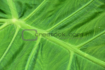 close up of an elephant ear leaf
