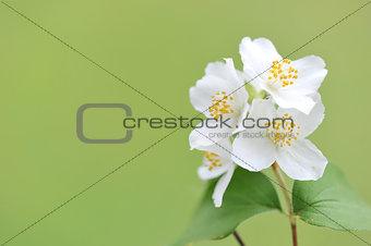 Blooming twig of Jasmine.