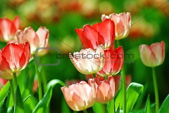 Bautiful Pink Tulip flower