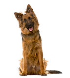 German Shepherd sitting in front of a white background