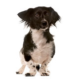 Crossbreed dog standing in front of a white background