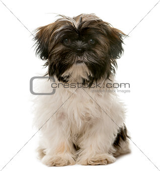Tibetan Terrier sitting in front of a white background