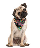 Pug sitting and wearing a scarf in front of a white background