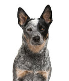 Close-up of an Australian Cattle Dog in front of a white backgro