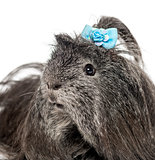 Close-up of a hairy Guinea pig in front of a white background