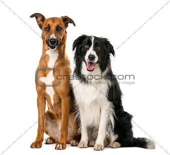 Crossbreed and Border Collie sitting in front of a white backgro