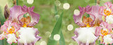 Booming irises