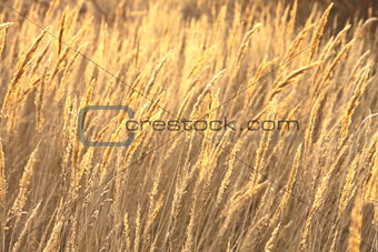 abstract photo of golden sedge