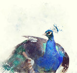 Indian Peafowl Watercolor