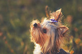Puppy yorkshire terrier outdoor.