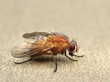 Fly on a table closeup macro