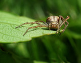 Spider stalking catch on green leaf