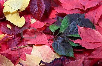 Background of multicolor autumn virginia creeper leaves