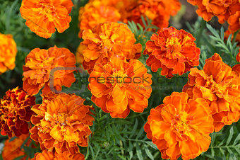 Close up yellow marigold in mome garden with nature orange color