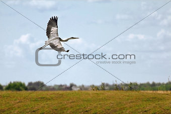 A flying Grey heron (ardea cinerea) with open wings