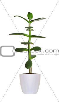 green Crassula plant in flowerpot isolated on white