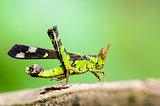 Monkey Grasshopper ( Erianthus serratus )