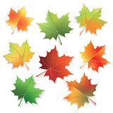 Colorful maple leaves isolated on white background.